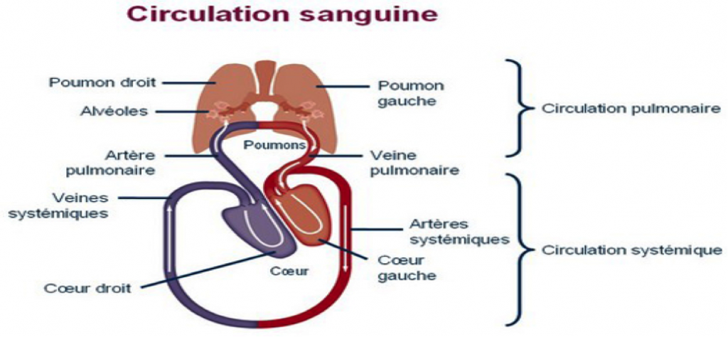 CirculationSanguine